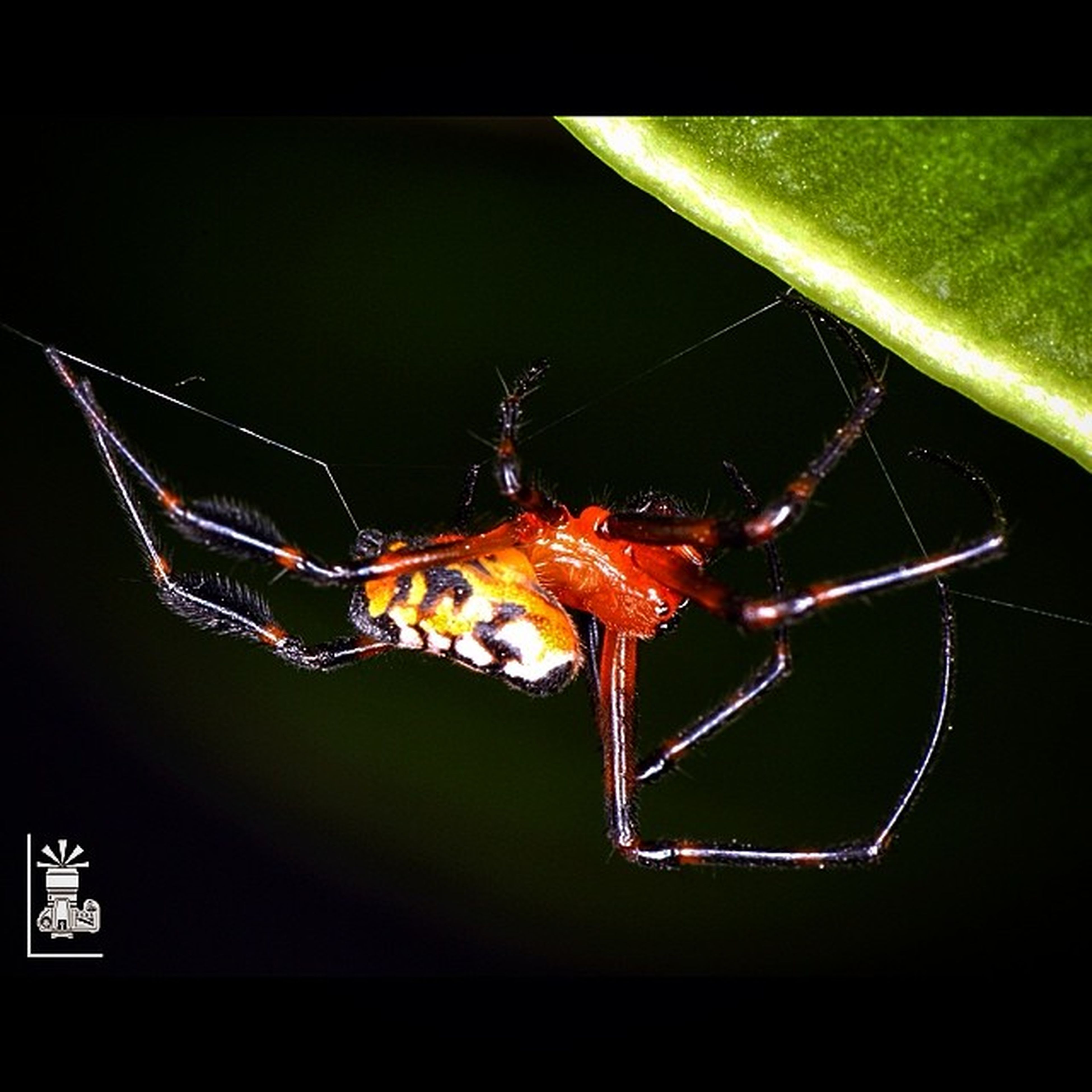 animal themes, night, close-up, one animal, black background, studio shot, illuminated, insect, focus on foreground, spider, wildlife, transfer print, animals in the wild, auto post production filter, spider web, pattern, no people, natural pattern, animal markings, outdoors