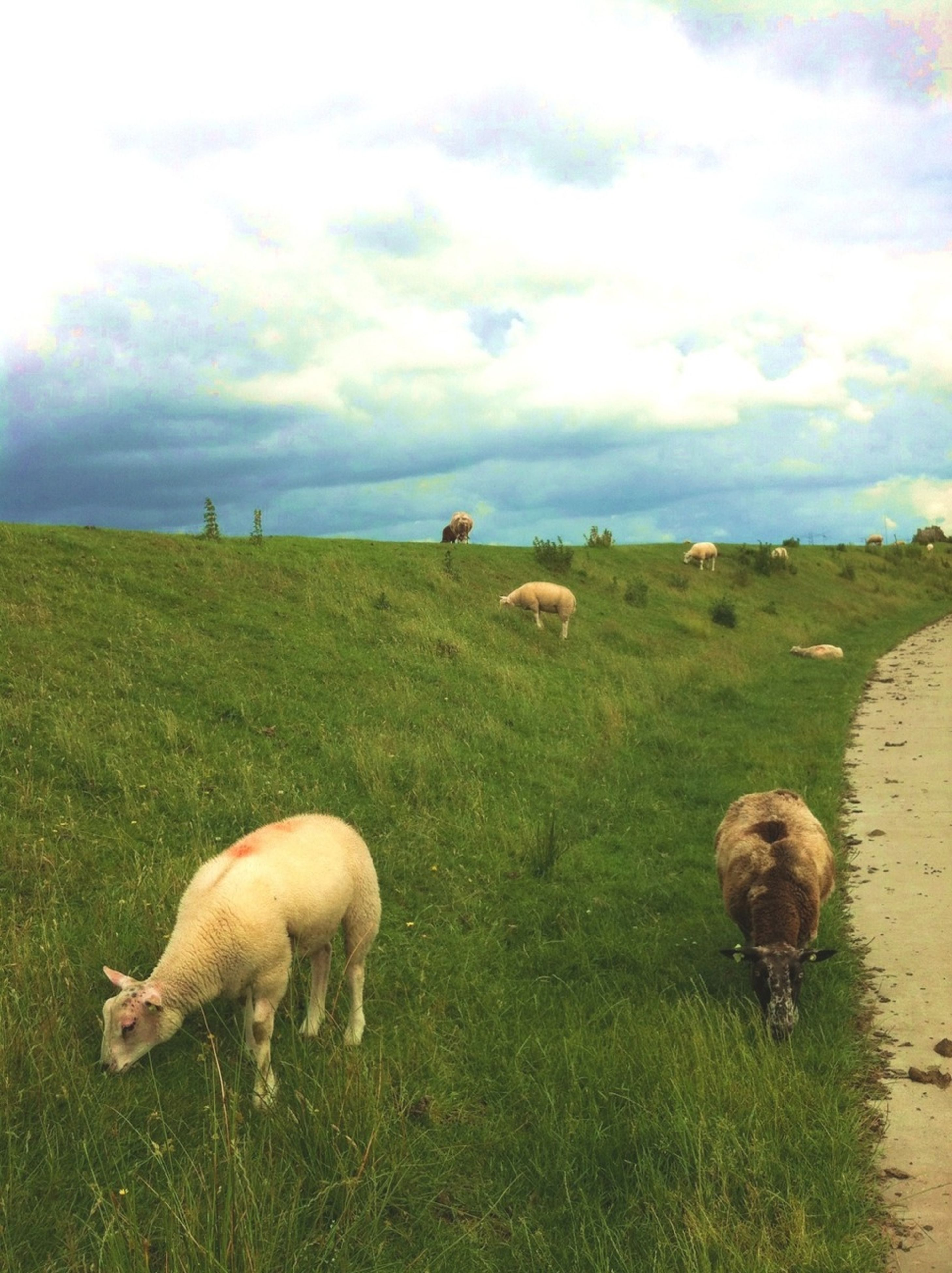 animal themes, grass, mammal, domestic animals, field, sky, livestock, sheep, grassy, animal family, cloud - sky, medium group of animals, togetherness, young animal, three animals, nature, landscape, grazing, cloudy