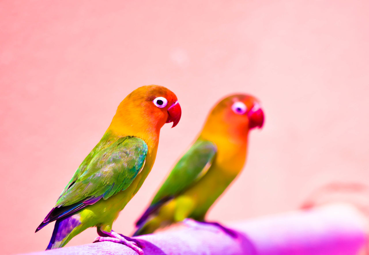 beautiful tow parrot lovers. Parrot Lovebirds Parrot Lovers عصافير ببغاء Taking Photos Coloful Check This Out السودان تصويري_نيكون Parrot الرياض Photography تصويري  Eyes Learn & Shoot: Leading Lines Birds Enjoying Life Check This Out Taking Photos Hanging Out Photographs Beautiful View Inspirations