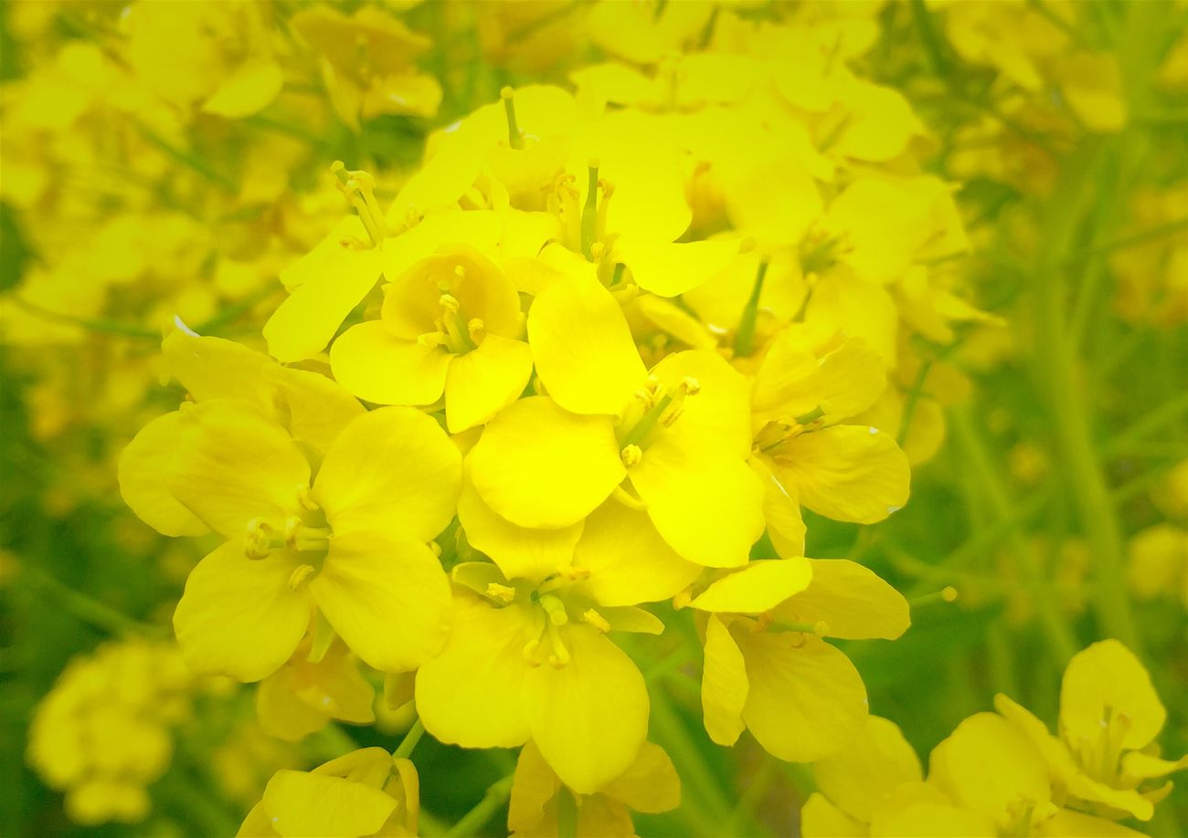 """今日も にっこり笑顔で お仕事 頑張るじょ~*˙︶˙*)ノ"""" 仲間は どなた?(๑⊙ლ⊙)ぷ 菜の花 笑顔 キミといっしょに ハピハピ Spring Flowers Smile Natural_love Natural Beauty Happiness Yellow Flower Happyday Fight"""