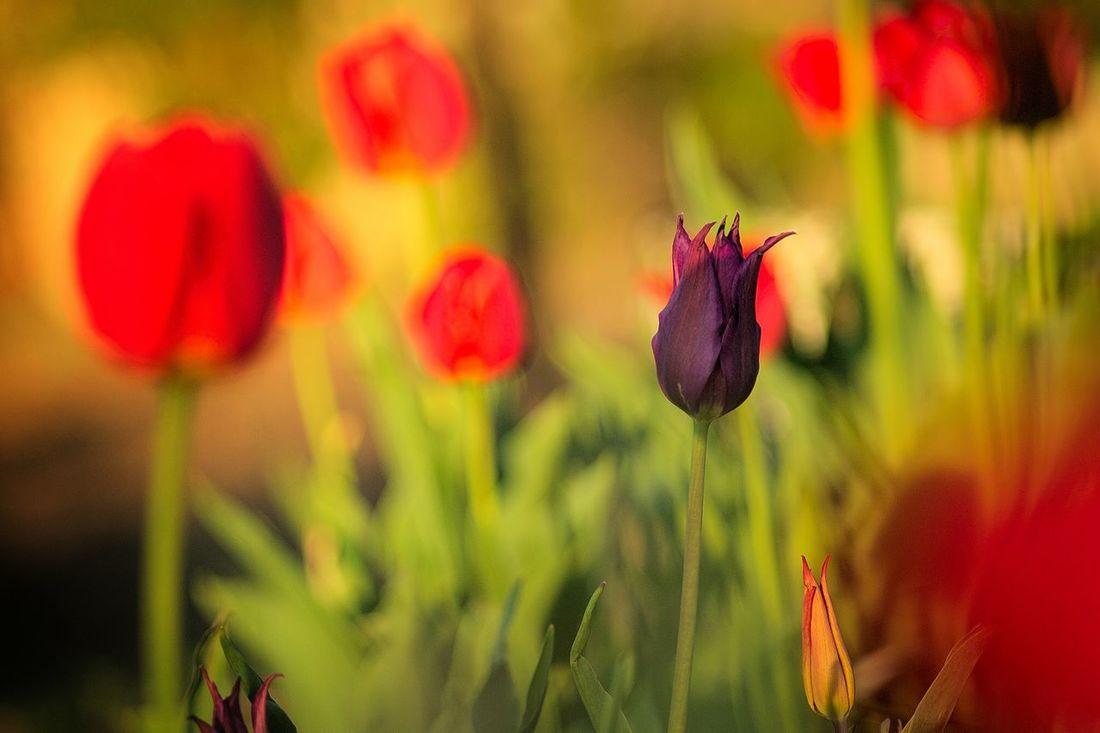 Tulips🌷 Flowers Nature Russia Spring природароссии