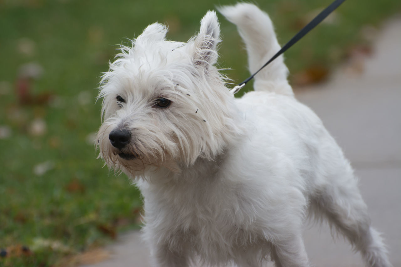 dog, domestic animals, pets, one animal, mammal, animal themes, white color, west highland white terrier, focus on foreground, animal hair, no people, outdoors, day, close-up, nature
