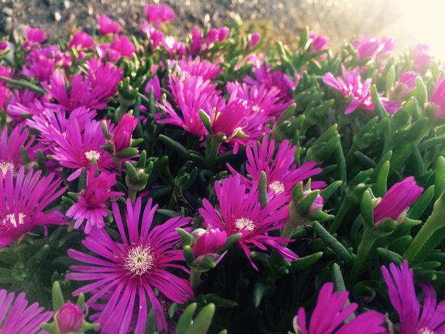 キラキラ♪♪それがいい♪ Hello World Flower What Name? This Flower Sunlight Color Pink Enjoying Life Iphonegallery EyeEm Gallery Japan Japanese  Hope Nature