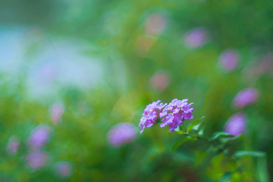 Flowers Nature Beauty In Nature Fragility Freshness Close-up Growth Outdoors Striving For Excellence PracticeMakesPerfect Macro Photography Macro Plant Green Color Purple Flower