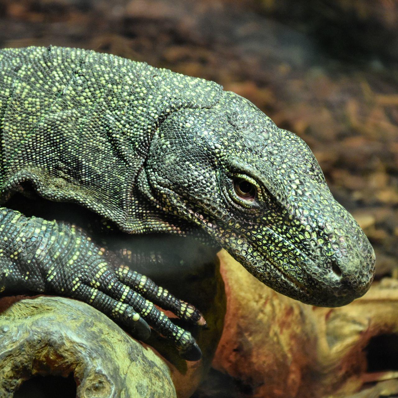 Animal Scale Animal Themes Animal Wildlife Animals In The Wild Close-up Day Komodo Dragon Nature No People One Animal Varaan