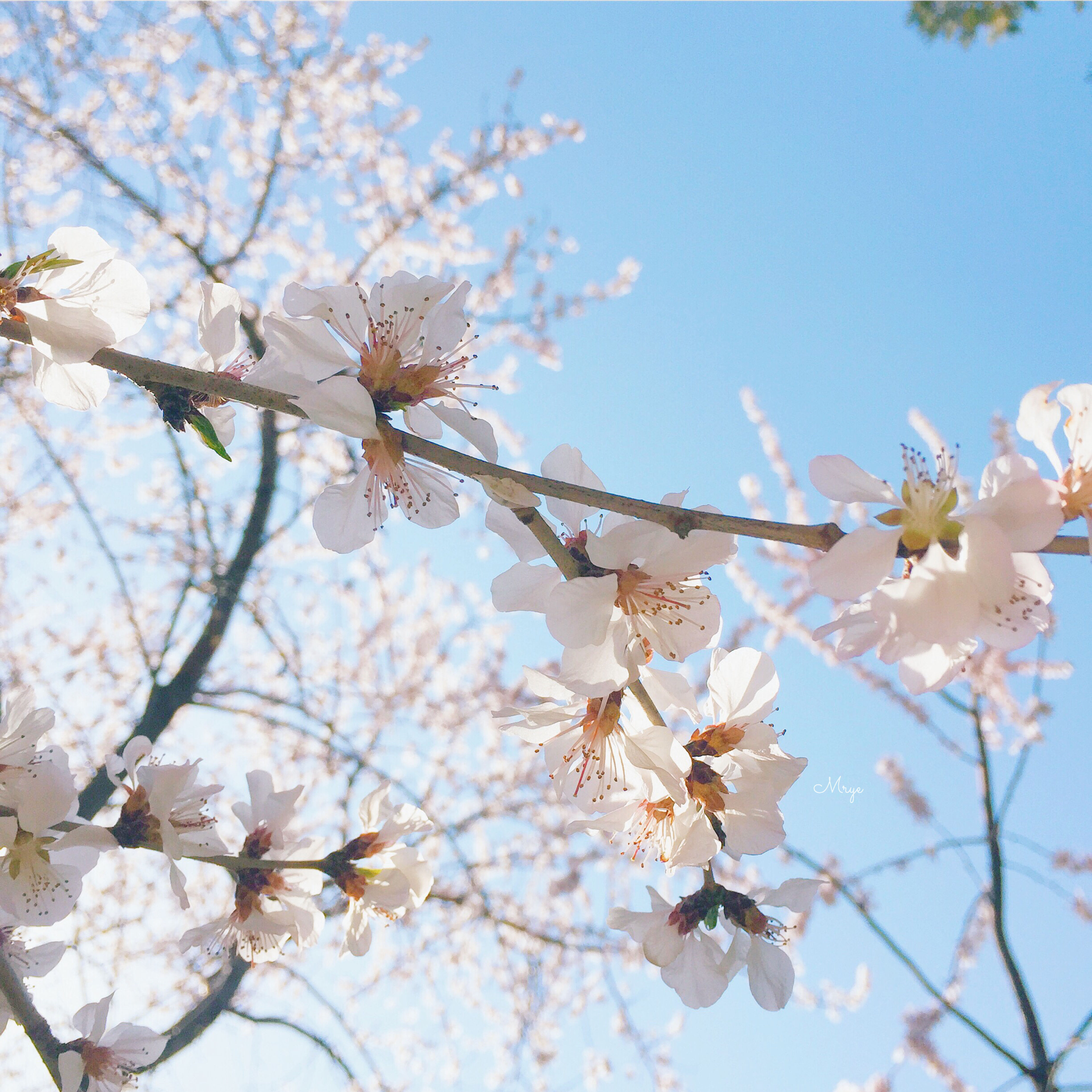 flower, branch, low angle view, freshness, tree, fragility, growth, cherry blossom, blossom, beauty in nature, nature, cherry tree, clear sky, sky, in bloom, springtime, blooming, petal, twig, fruit tree