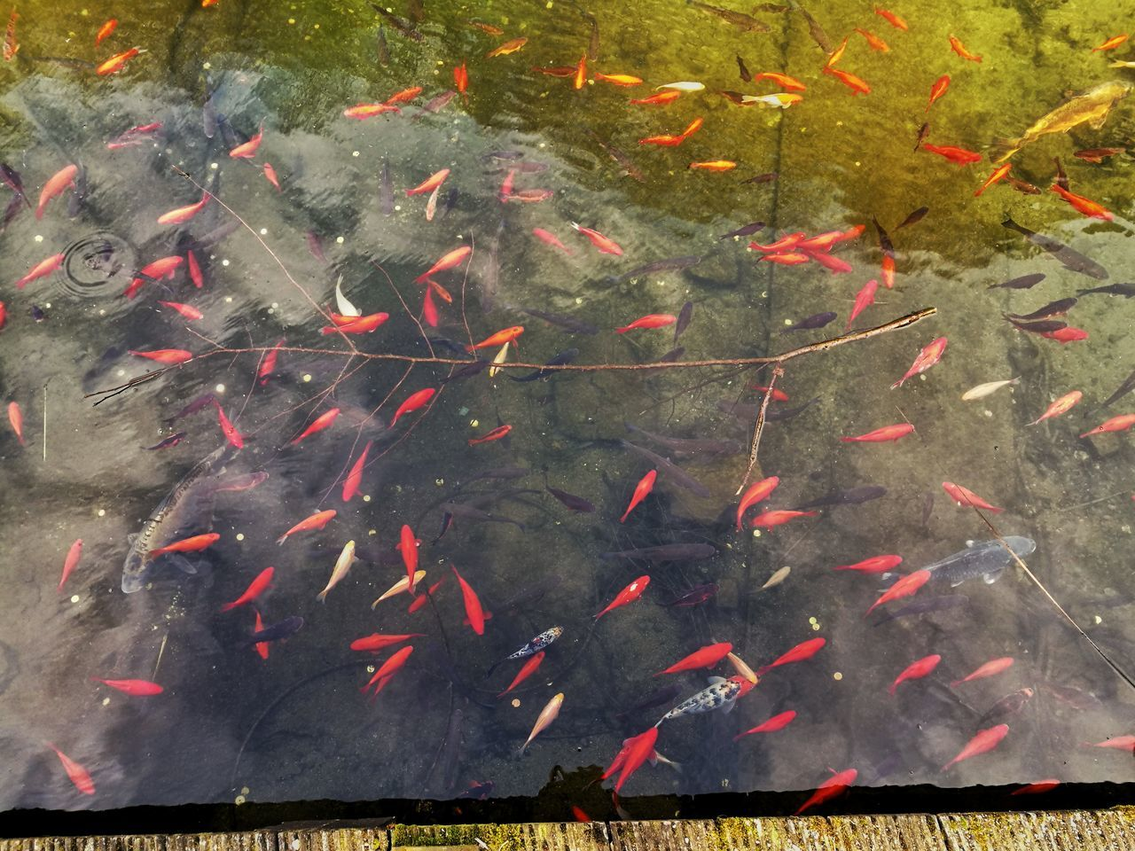 Fish Animal Themes Multi Colored Water Sea Life Koi Carp Swimming School Of Fish Carp High Angle View Large Group Of Animals No People Outdoors Day Close-up