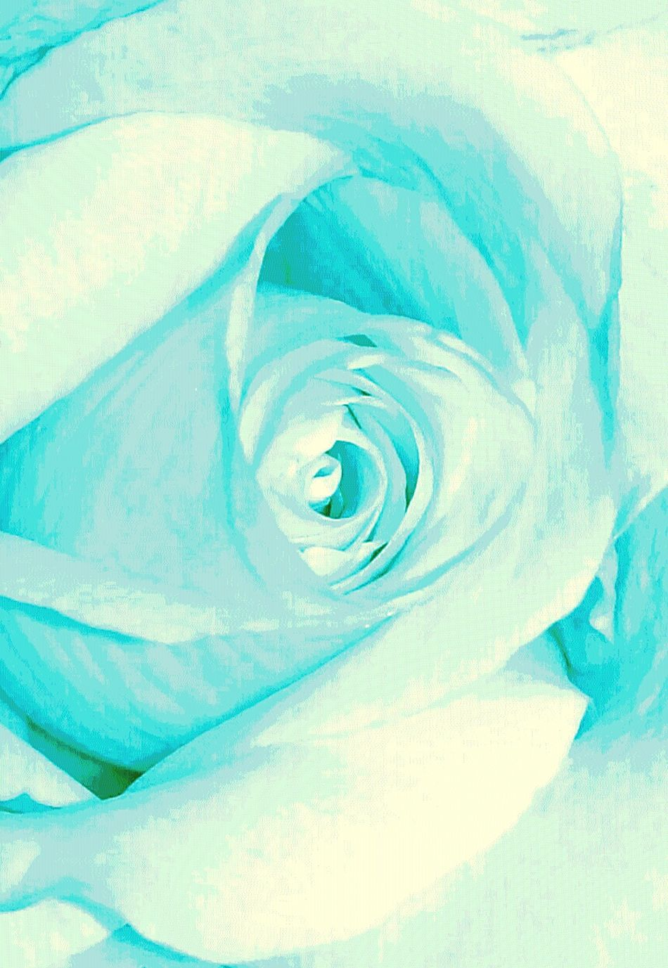 Baby blue.. Pastel Power Live, Love, Laugh EyeEm Worthy Eyeem Market Getty Images Live Life With No Regrets Me And You Happiness Is Key EyeEm Love Be Happy Be Kind Book Art Eye4photography  EyeEm Gallery Shades Of Nature Shades Of Blue Soft Pastel  Roses Blue Rose Single Rose Single Flower EyeEm Shades Of White White Album EyeEm The Best Shots EyeEm Nature Lover