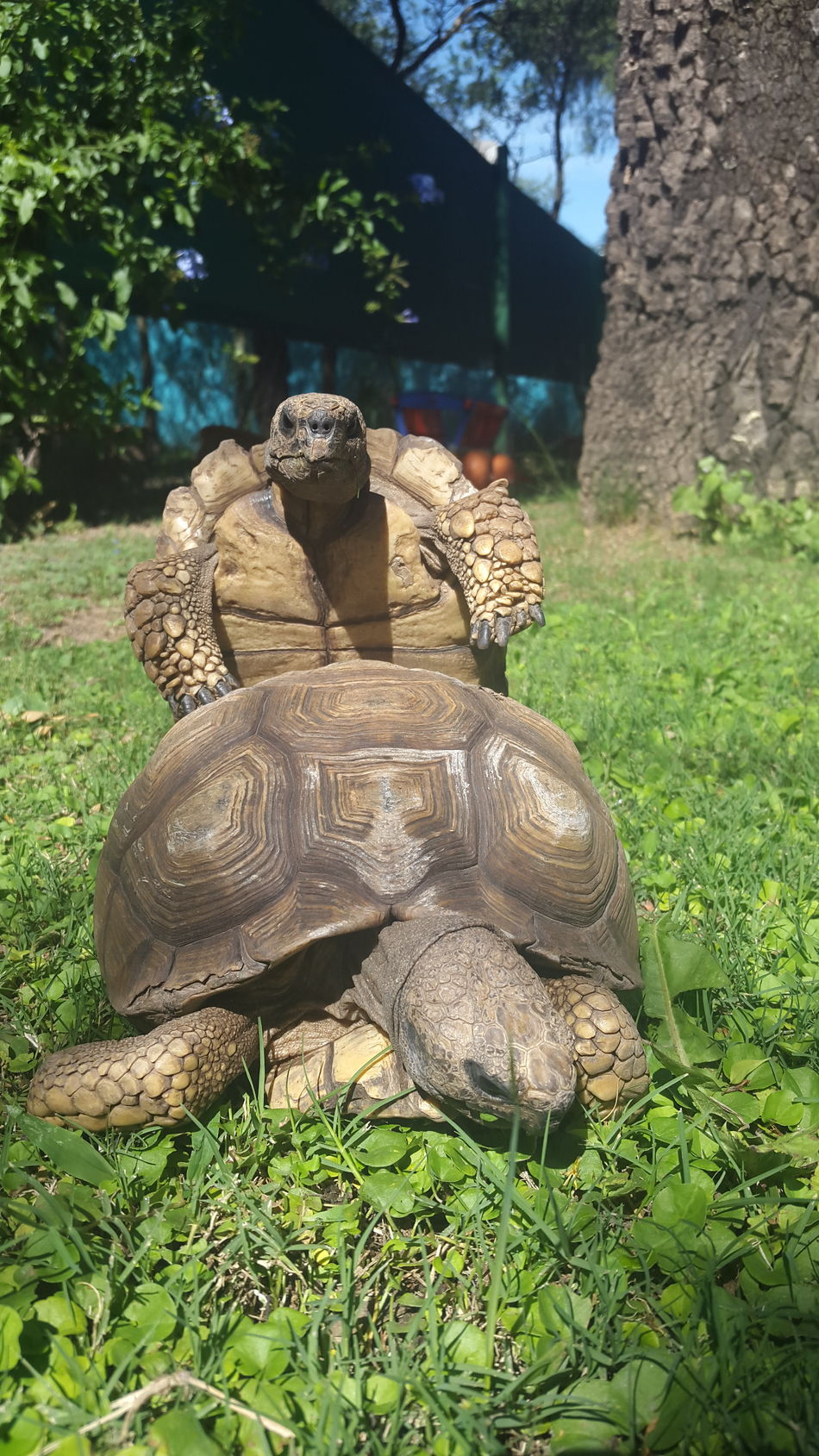 Sunlight Tree Nature Grass Field Outdoors Growth No People One Animal Animal Themes Beauty In Nature Day Animals In The Wild Reptile Close-up Tortoise Copulating Tourtles