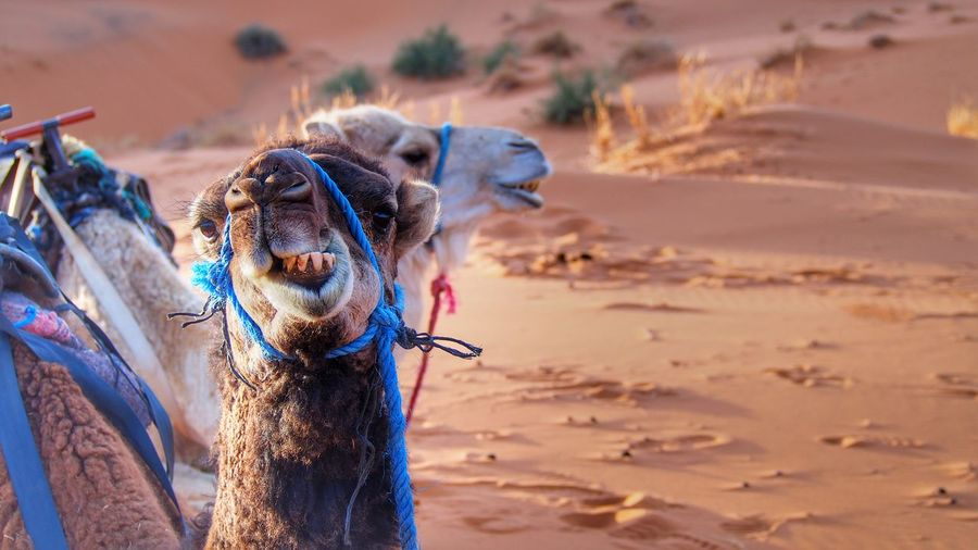 Camels Camel Dromedary Travel Destinations Travel Destinations Traveling Morocco Moroccan Domestic Animals Mammal Sand Desert Outdoors Animal Themes Arid Climate Sand Dune
