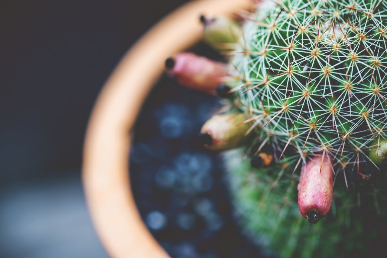 Bokeh Cactus Cactus Seed Close-up Cropped Day Focus On Foreground Leisure Activity Lifestyles Part Of Plant Selective Focus Thorns Unrecognizable Person Vintage Style