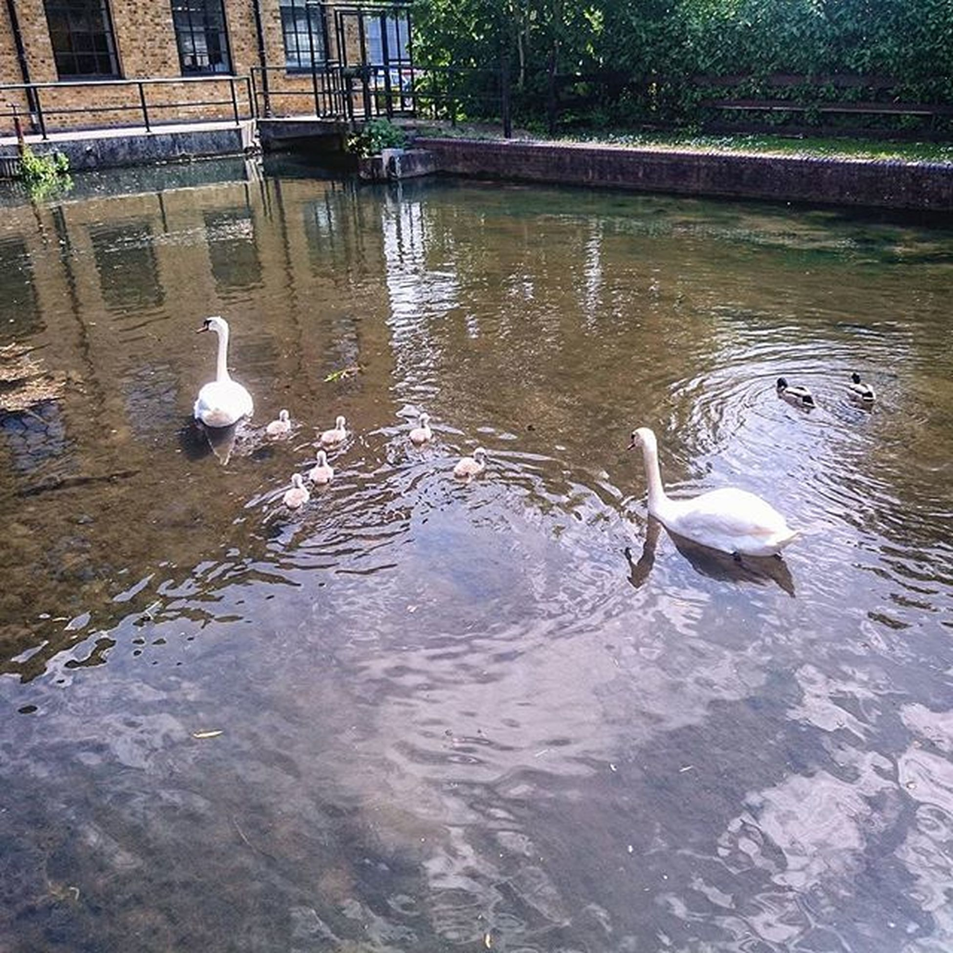 Then there were 6.. Swans Cygnets Nature Animals Birds Ware GSK Hertfordshire Canal Water Ducks ICAN XPERIA Sony Snapshot Capture