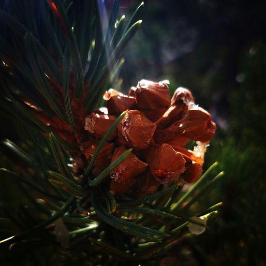 Pinecone Nature Plant Growth Beauty In Nature Close-up No People Flower Outdoors Freshness Horizontal Day Nature Freshness EyeEm Nature Lover Eyeeybestshots EyeEm EyeEmNewHere