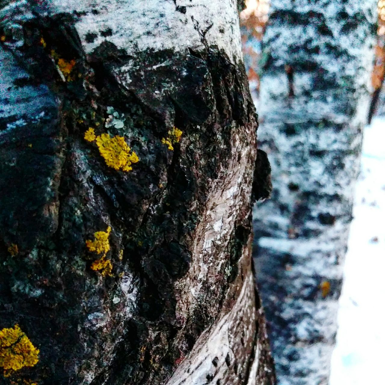 tree trunk, textured, bark, rough, tree, close-up, day, lichen, focus on foreground, nature, weathered, no people, outdoors, wood - material, growth, fungus, beauty in nature, animal themes