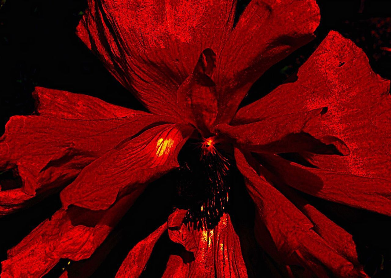 red, flower, petal, flower head, no people, beauty in nature, nature, fragility, close-up, outdoors, day, freshness