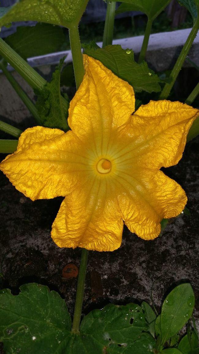 Pumpkin Blossom Pumpkin Yellow Flower Yellow Blossoms Yellow Bloom How Does Your Garden Grow