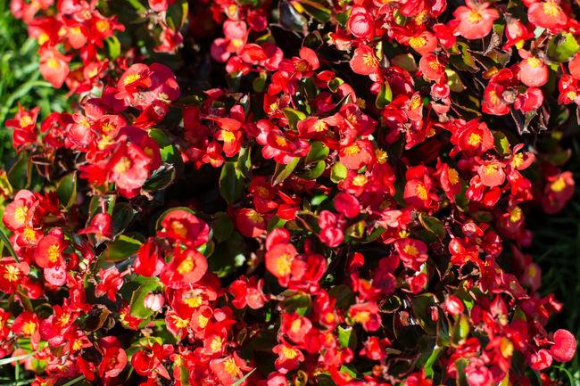 Red Carpet Abundance Blooming Blossom Botany Change Close-up Flower Flower Head Fragility Freshness Growing Petal Pink Pink Color Red Rosé Rose - Flower Single Flower Springtime