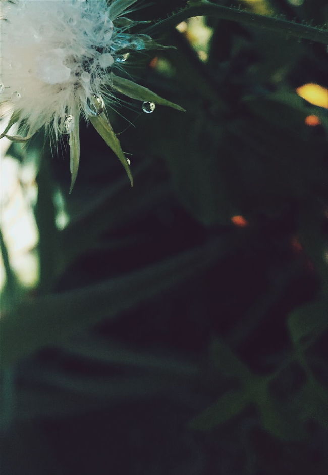 Dandelion Close-up Beauty In Nature Nature Fragility Focus On Foreground Drop Green Focus Plants And Flowers Dandelion After Rain Dew Water Leaf Spider Web No People Outdoors Day Spider Animal Themes Web Maximum Closeness