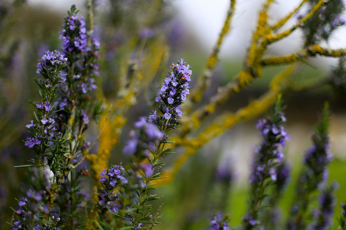 Beauty In Nature Close-up Day Flower Flower Head Fragility Freshness Growth Lavender Nature No People Outdoors Plant