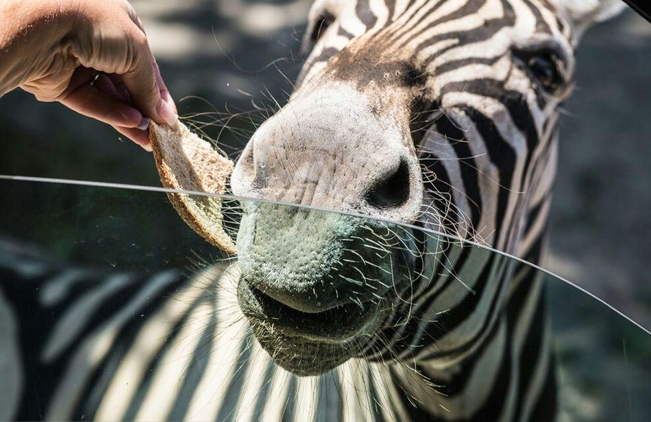 Beautiful stock photos of zebra, Animal Head, Animal Themes, Bread, Close-Up