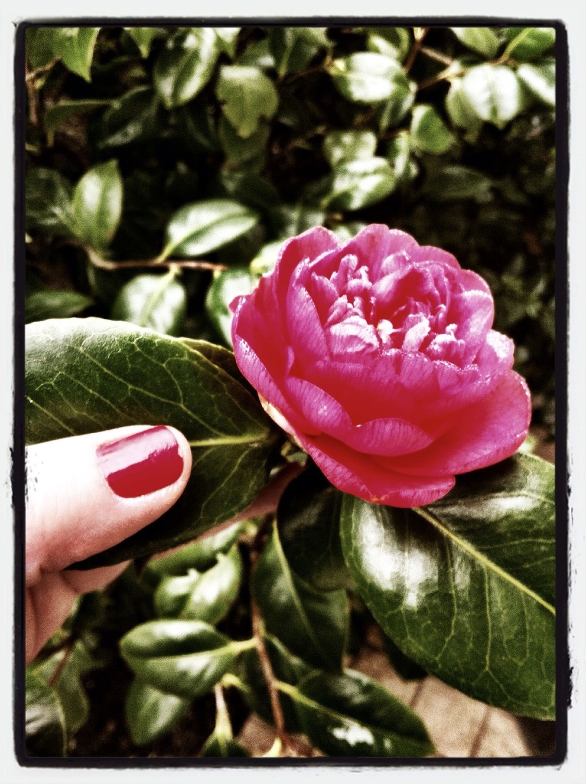 transfer print, flower, auto post production filter, person, pink color, petal, fragility, holding, flower head, close-up, freshness, part of, focus on foreground, growth, single flower, beauty in nature, leaf