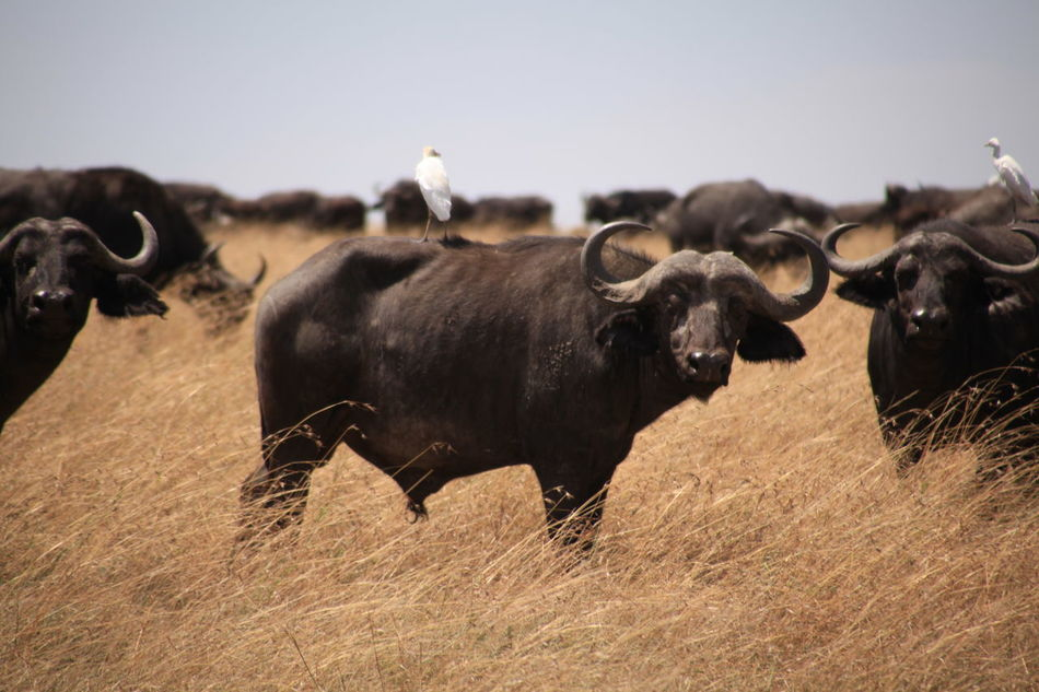 Beautiful stock photos of buffalo,  Animal,  Buffalo,  Clear Sky,  Domestic Animals