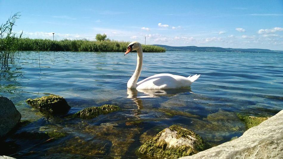 Water Water Bird Lake Beauty In Nature Bird Nature Outdoors Oldlove Swimming