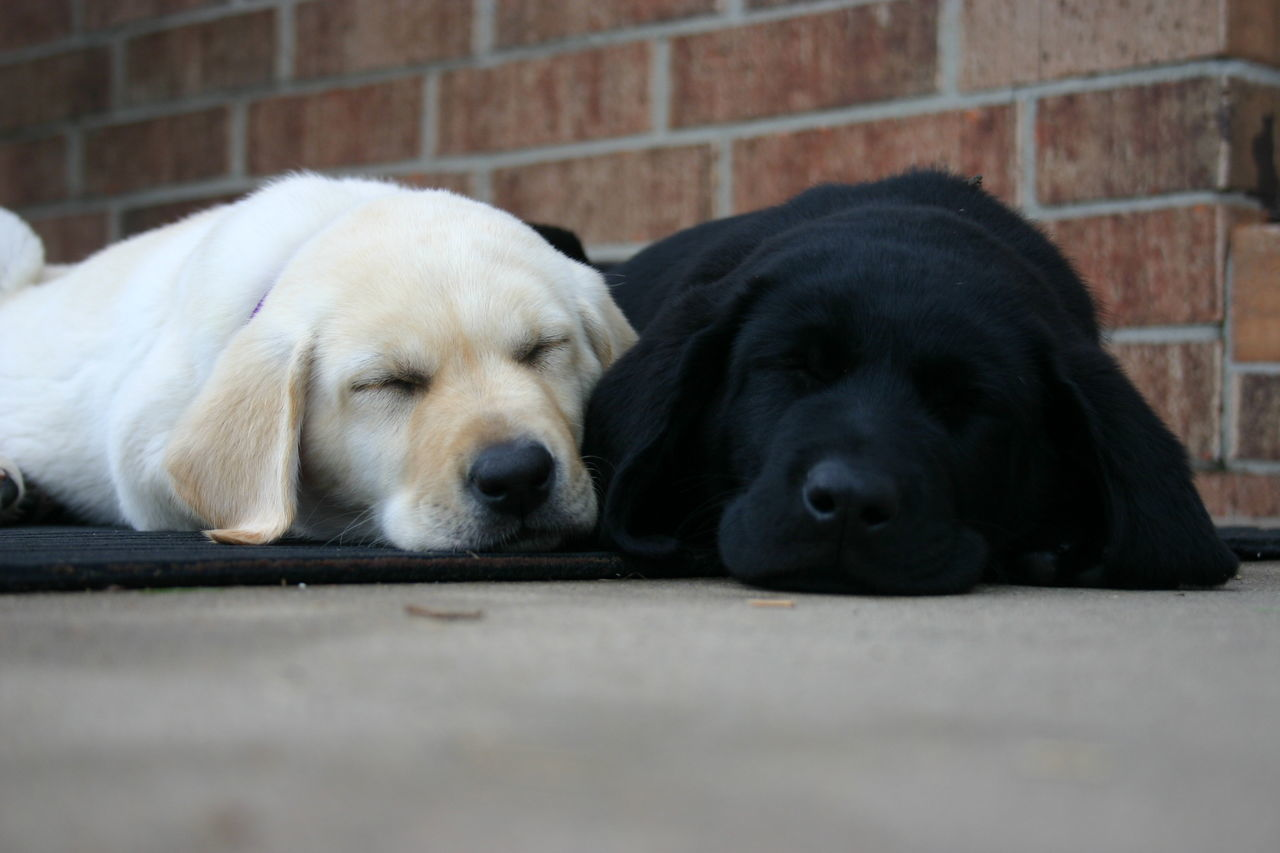 Beautiful stock photos of welpen, Amarillo, Animal Themes, Black Labrador, Canine