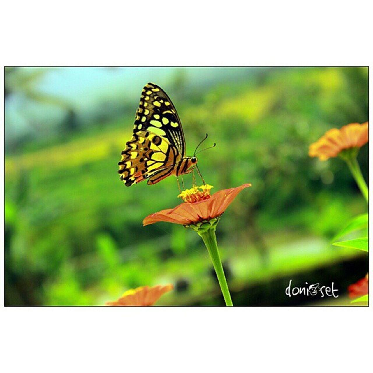 Original 😀 Original Amateur Amatir Noefek Noeffect Kupukupu Butterfly Bunga