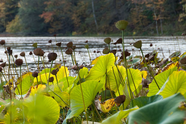"""Innisfree Garden, north of New York City, """"merges the essence of Modernist ideas with traditional Chinese and Japanese garden design principles."""" Autumn Colors Fall Colors Garden Water Lake Dappled Sunlight Translucent"""
