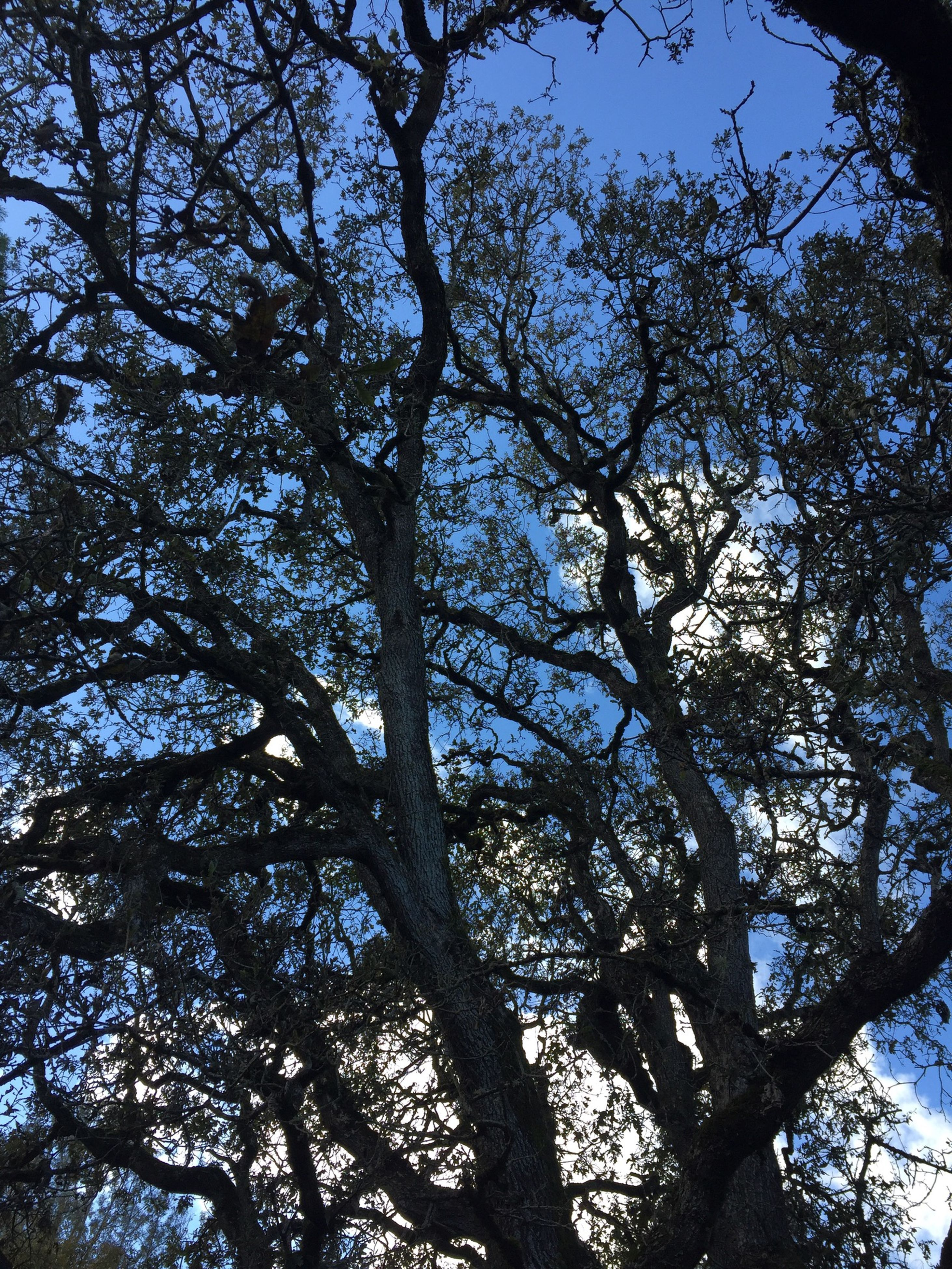 low angle view, tree, branch, growth, nature, tranquility, sky, beauty in nature, clear sky, backgrounds, full frame, bare tree, day, outdoors, no people, tree trunk, scenics, sunlight, directly below, blue