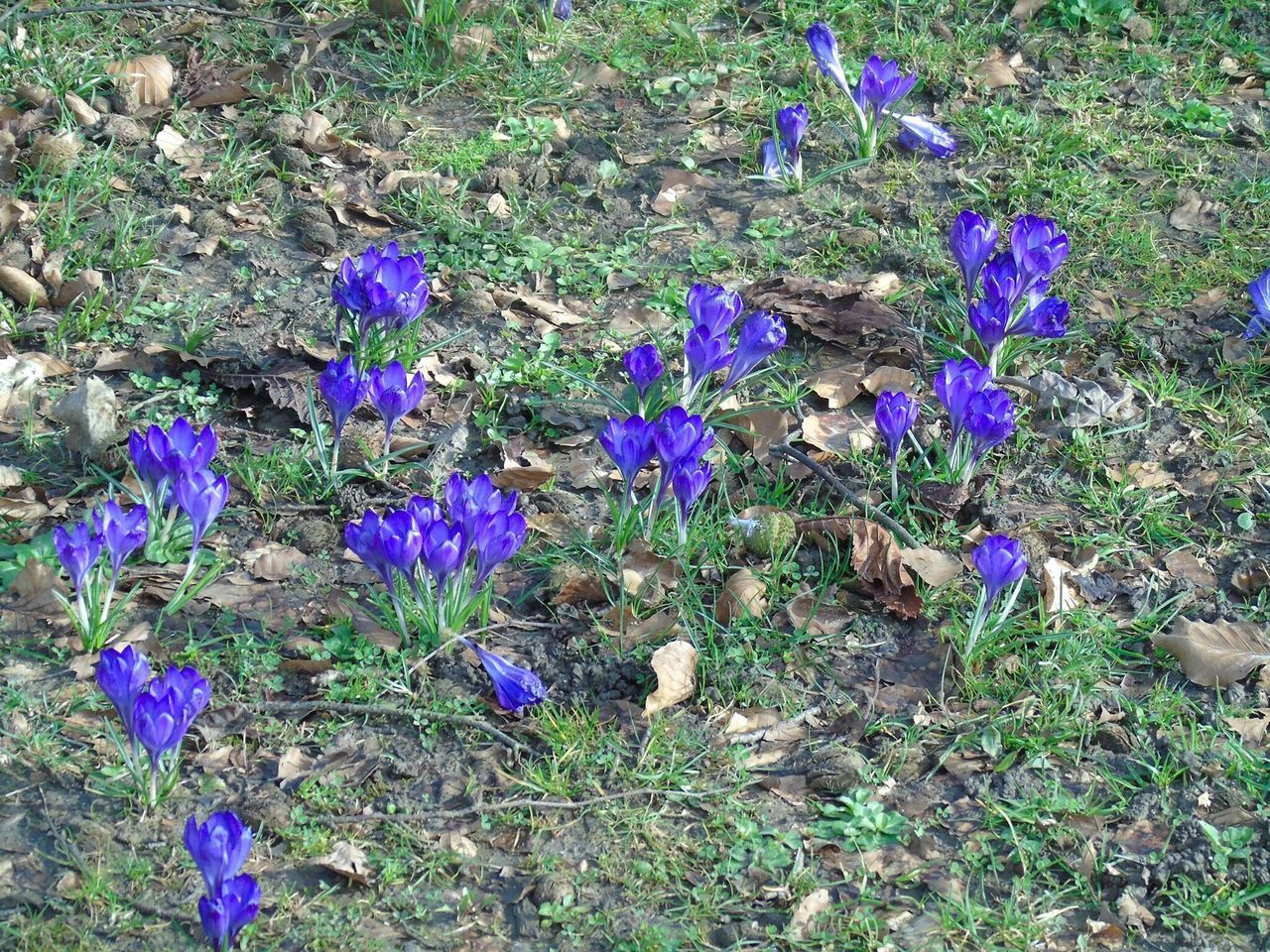 flower, purple, growth, nature, field, plant, fragility, beauty in nature, petal, high angle view, no people, outdoors, day, crocus, freshness, flower head, blooming, grass