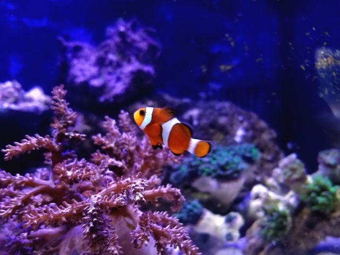 Clownfish Nemo Saltwater Aquarium