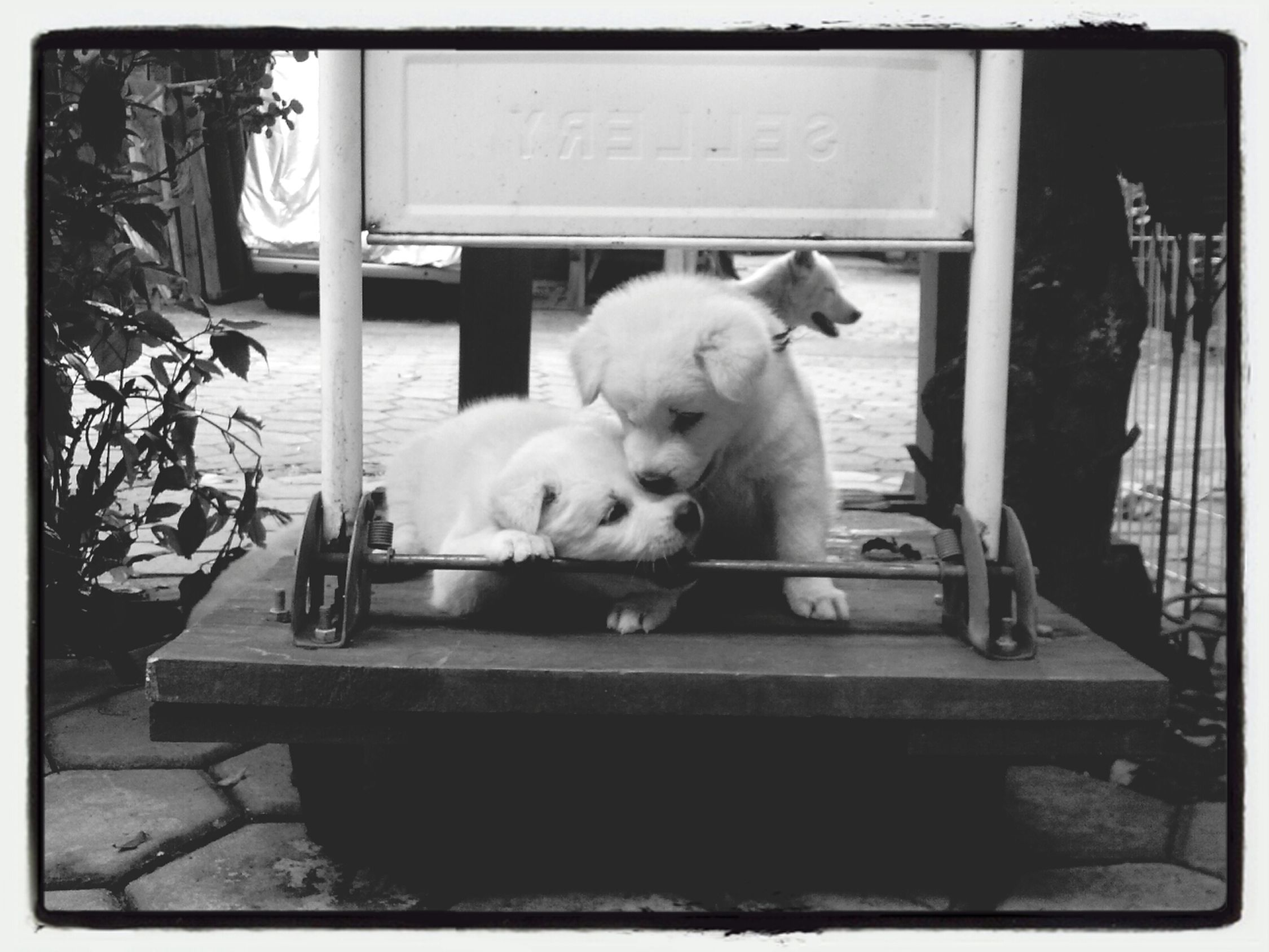 Puppies Kintamani Dog