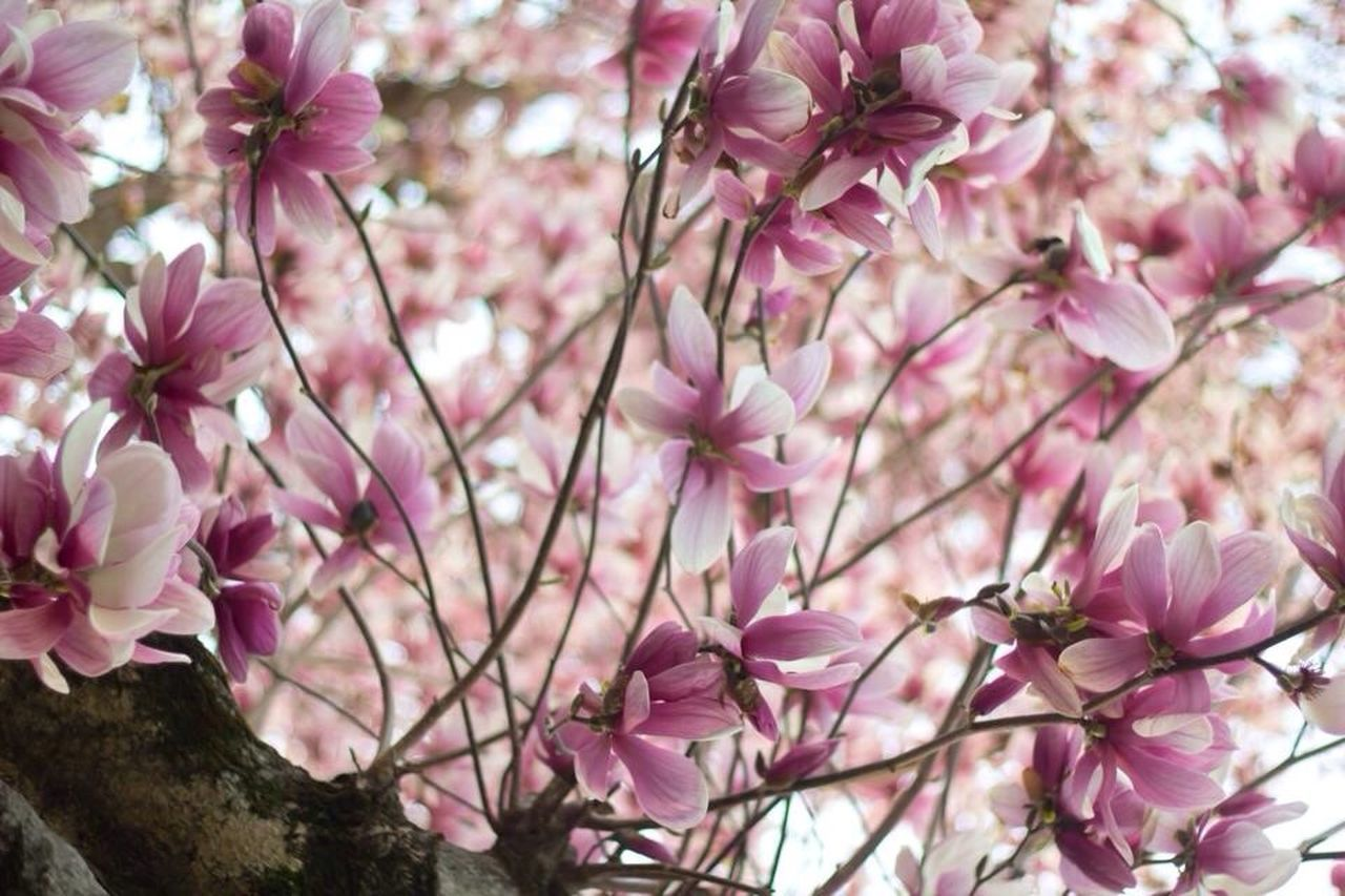 Beautiful stock photos of magnolia, Backgrounds, Beauty In Nature, Blooming, Day