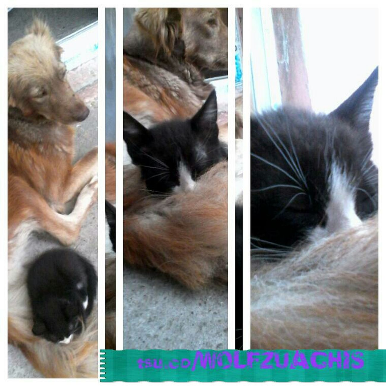 Wolfzuachis Colaj TSU Pet Collage