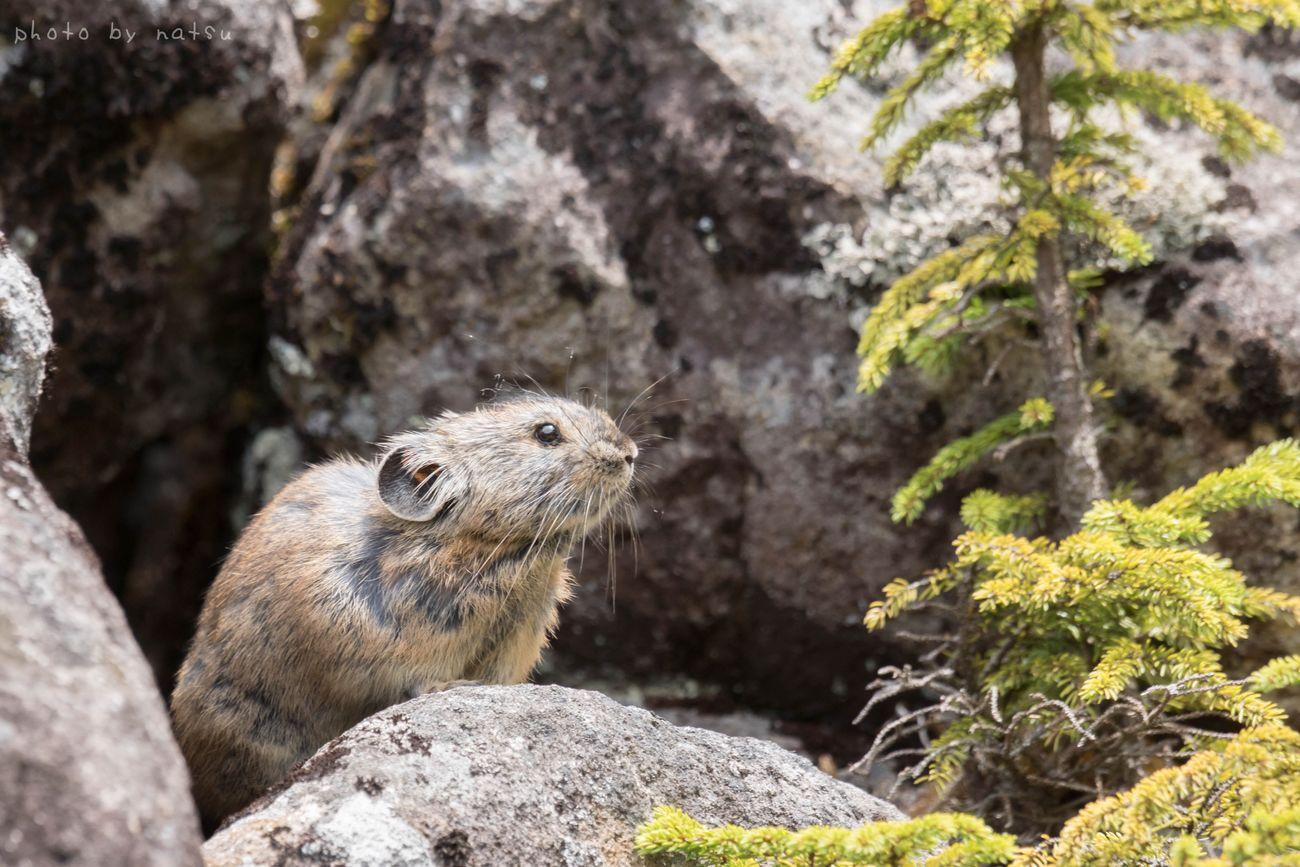 岩穴から出てきたナキウサギ。 Pika Rock Rabbit ナキウサギ Hokkaido Japan Nature Photography Wild Animal Animals 北海道