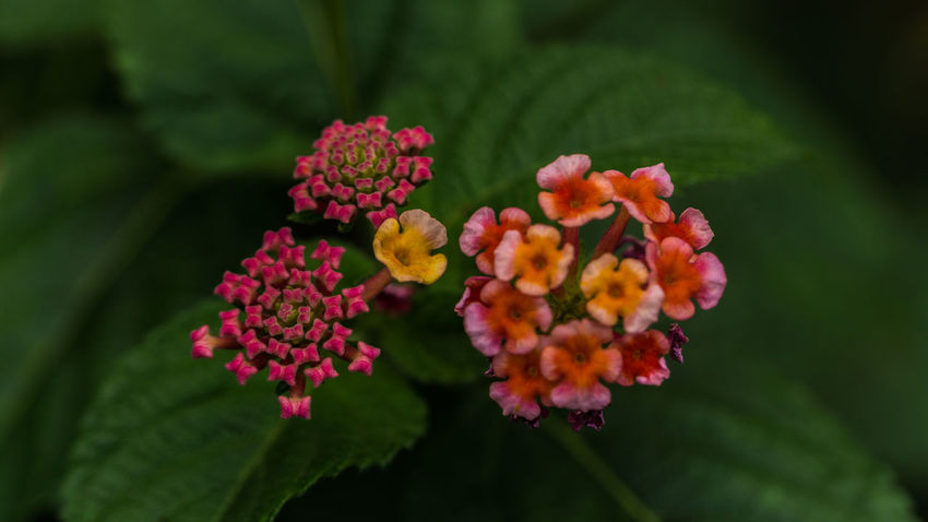 Pink Rose Beauty In Nature Blooming Close-up Flower Flower Head Fragility Freshness Green Color Growth Lantana Lantana Camara Leaf Little Flowers Nature No People Outdoors Petal Pink And Red Flowers Pink Color Plant Tiny Flowers