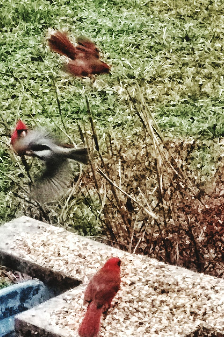 Birds In The Wild No People Ohio Cardinal In The Rain Bird Wild Nature Winter Time Birds Red Close-up Beauty In Nature Scenics Cardinal Cardinal Red Wild Birds Wild Bird Peebles Animals In The Wild Birds Wildlife Winter Perching Birds In Flight