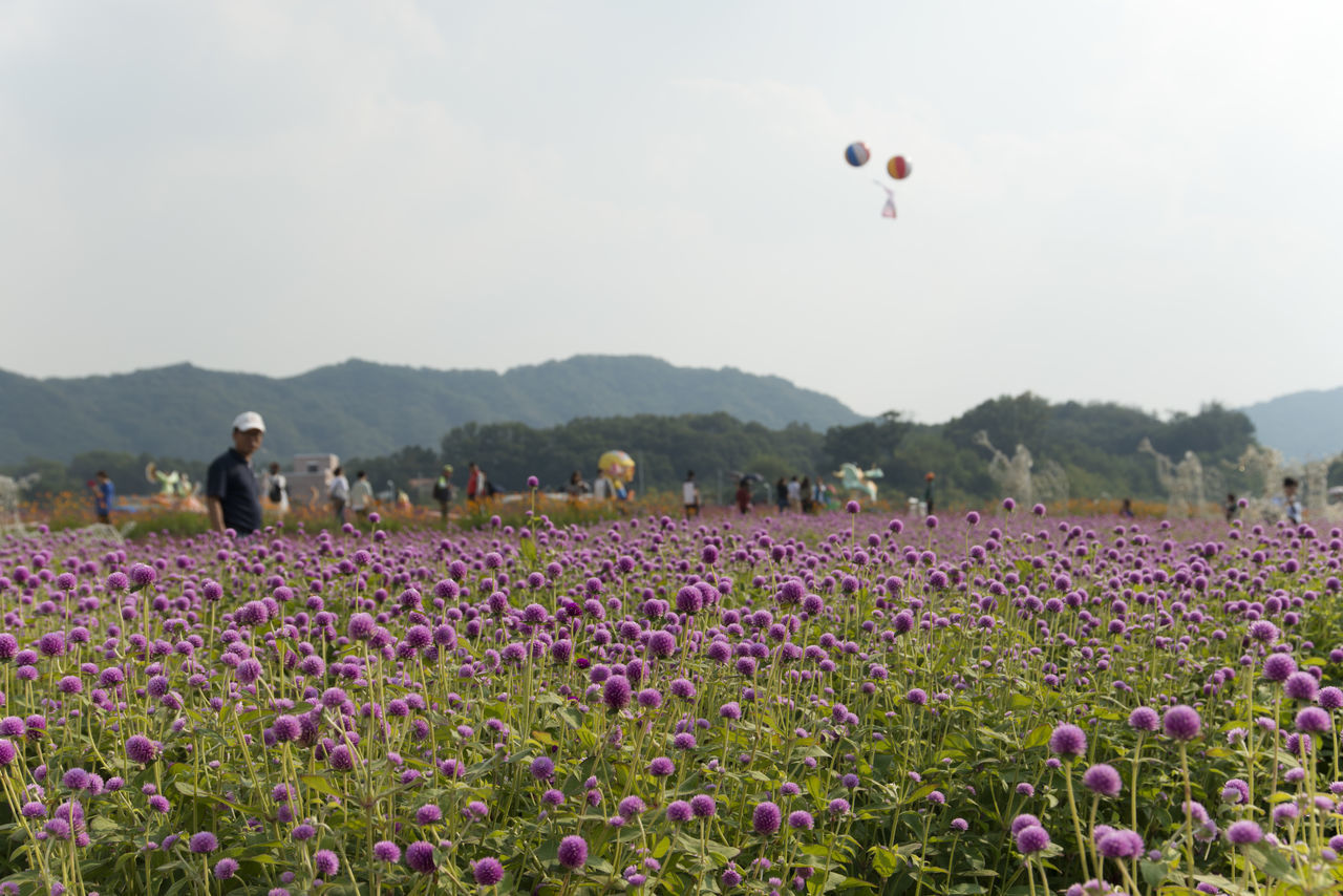 festival of globe amaranth flower with bellvedere at Nari Park in Yangju, Gyeonggido, South Korea Globe Amaranth Flower Beauty In Nature Day Field Flower Flying Freshness Globe Amaranth Growth Hot Air Balloon Landscape Men Mid-air Mountain Nature One Person Outdoors Park People Plant Real People Scenics Sky