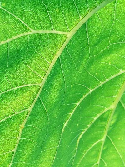 Sunflower Leaf Sunlight Relaxing Pattern pattern of nature Leaf Vein Green summer Plant Calm vibrant