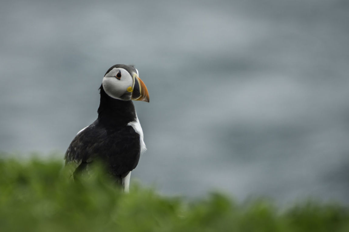 Atlantic Puffin Animal Themes Animal Wildlife Animals In The Wild Atlantic Puffin Beak Beauty In Nature Bird Close-up Day Nature Nature Photography No People One Animal Outdoors Puffin Wildlife Wildlife Photography