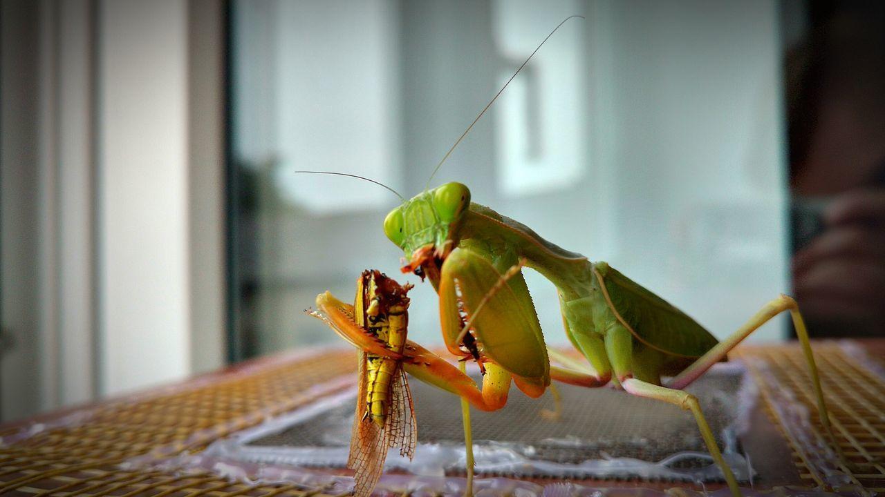 Mantis Exotic Creatures Terrarium Insect Sphodromantis