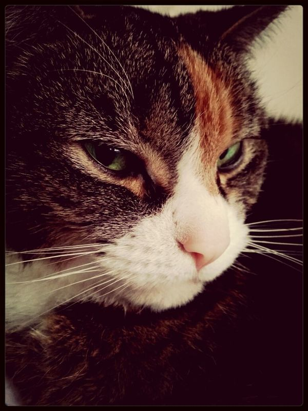 """Maddie giving me that look like """"why are you taking yet another picture of me?"""" Cats Pets Android Photography Home Sweet Home"""