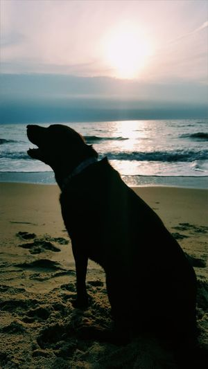 Charlie aka Uncho, howling to the beautiful sun Animal Photography Dog Bestfriend Sunrise Silhouette Sea Beach No People Sky Beautiful Mornings Beautiful Mornings In Virginia Nostalgia Nostalgic Landscape Miss You Buddy Lost In The Landscape