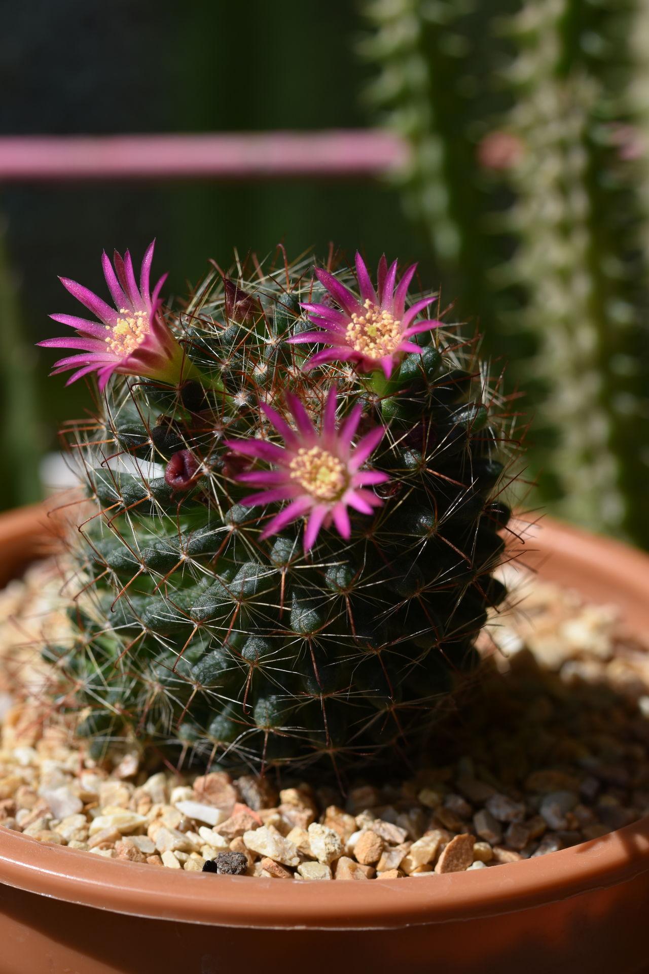 Cactus Cactusflower