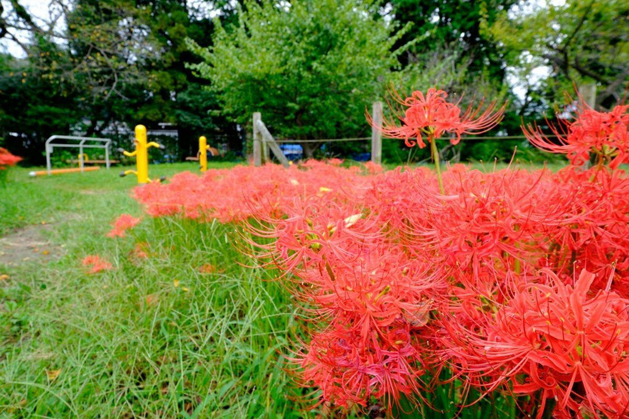 彼岸花 Flowerporn Flower 花 Fujifilm Fujifilm_xseries 曼珠沙華 Redspiderlily 彼岸花 Flower Collection Xf10-24mm