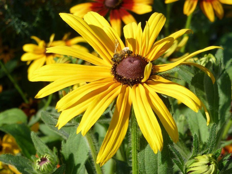 Flower Bee Yellow I Am A Photographer