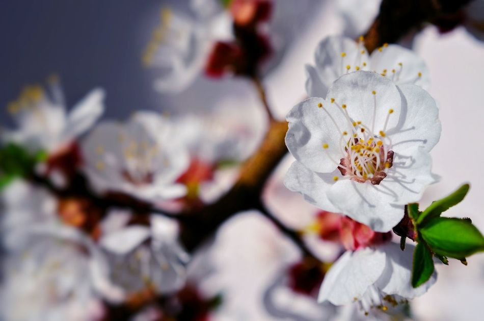 Patterns In Nature Springtime Spring Time Spring Light And Shadow ApricotBlossom Blooming Flower Blooming White Flower Flower Blossom Tree Blossom Apricot Flowers Apricot Tree Backgrounds Sunlight And Shadow White Background Closing Pastel Colored Plant Beauty In Nature Close-up Flower Head Beauty Nature