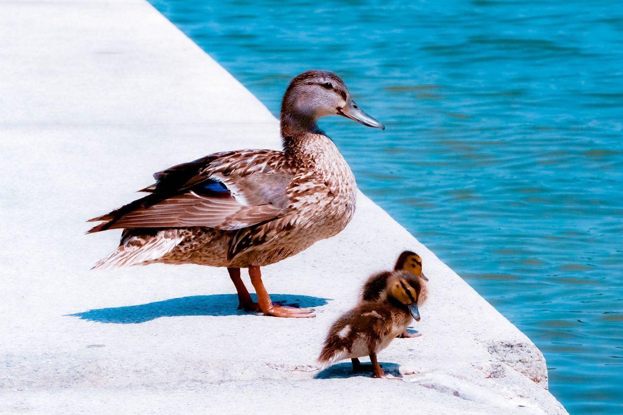 Mallard Ducks With Ducklings Perching On Retaining Wall By Sea